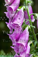 Fox Gloves - Macro