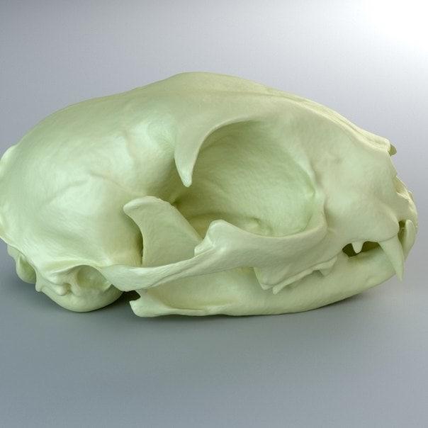 3d domestic cat skull