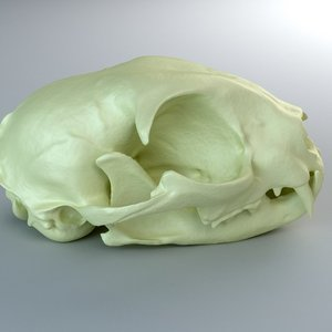 3d domestic cat skull