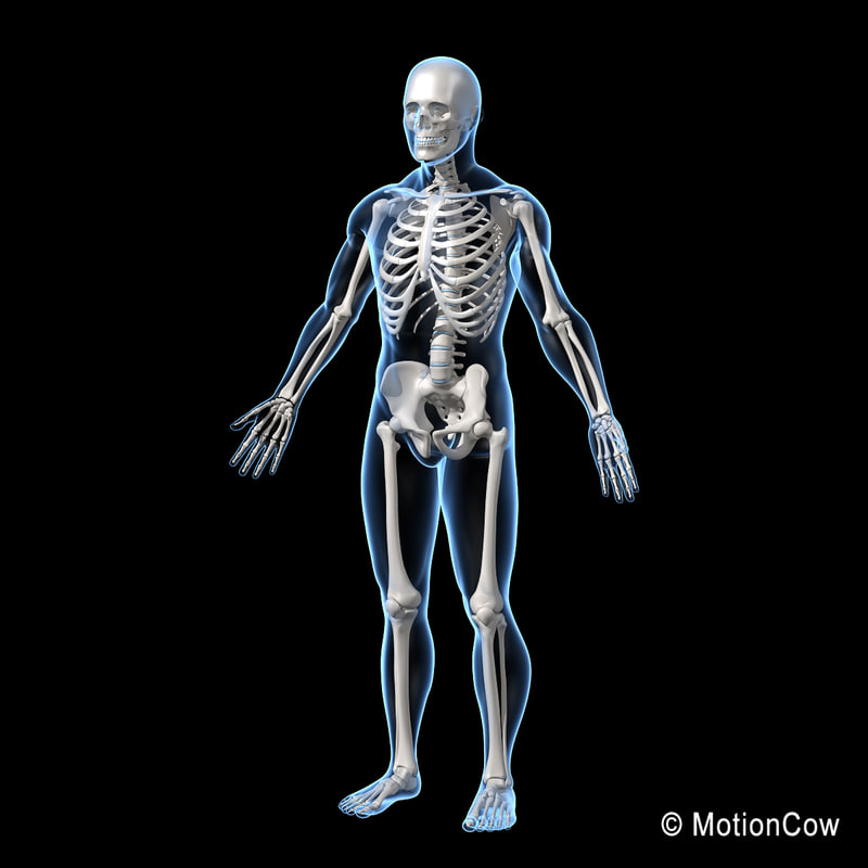 3d Model Human Skeletal Skeleton Bones