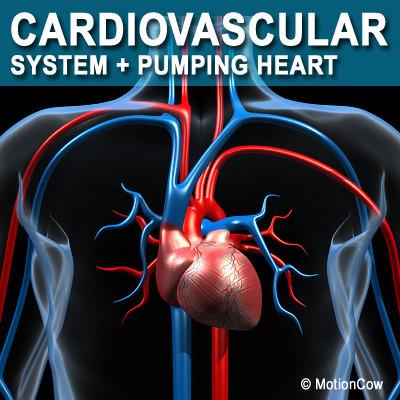 cardiovascular human organ 3d model