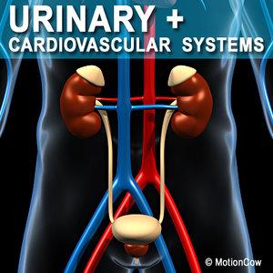 anatomy male urinary human organ obj
