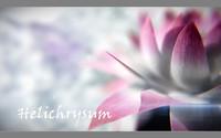 helichrysum flower max