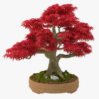 max japanese maple