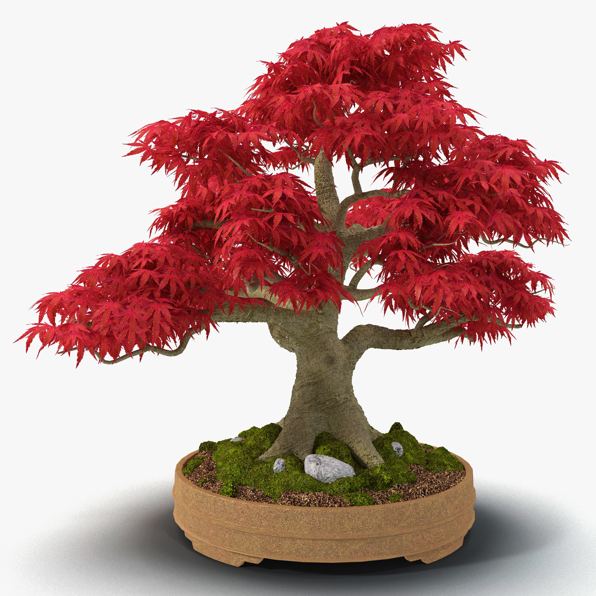 max japanese maple