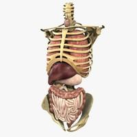anatomy study torso 3d ma