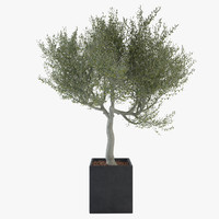 Ornamental Olive Tree