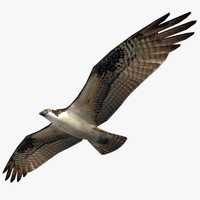 Osprey (Flying)