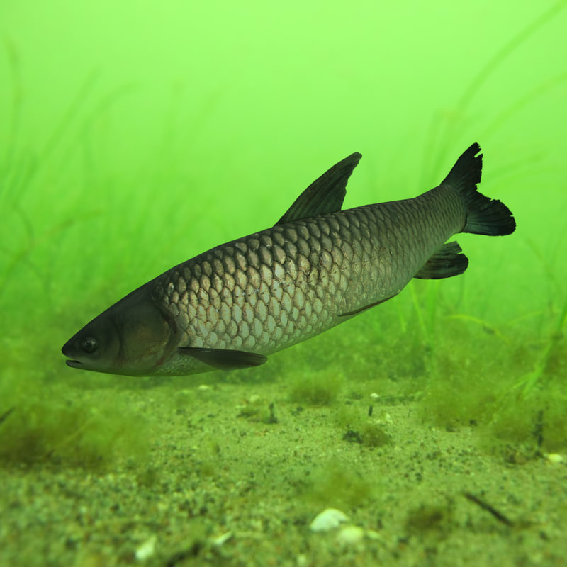 grass carp ctenopharyngodon idella max