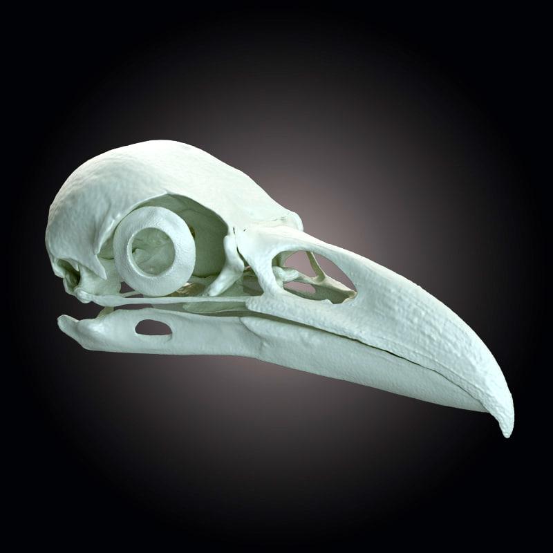 raven skull scan 3d model