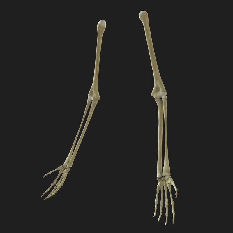 Skeleton Arms Bones 3d Model