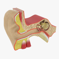3d anatomy ear model