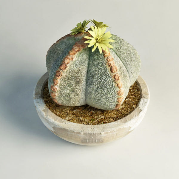 3d flowering cactus model