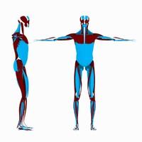 3d model human male muscle