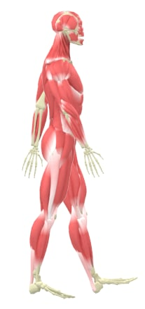 3d max human male rigged muscular