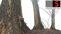 Acacia tree 9