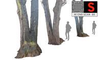 Acacia tree 8