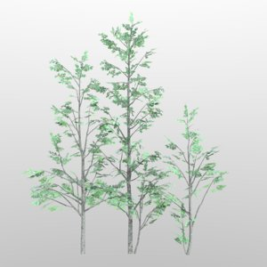 alnus grey alder tree 3d model