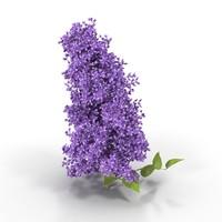 lilac branch max