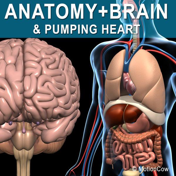 human anatomy pumping heart 3d model