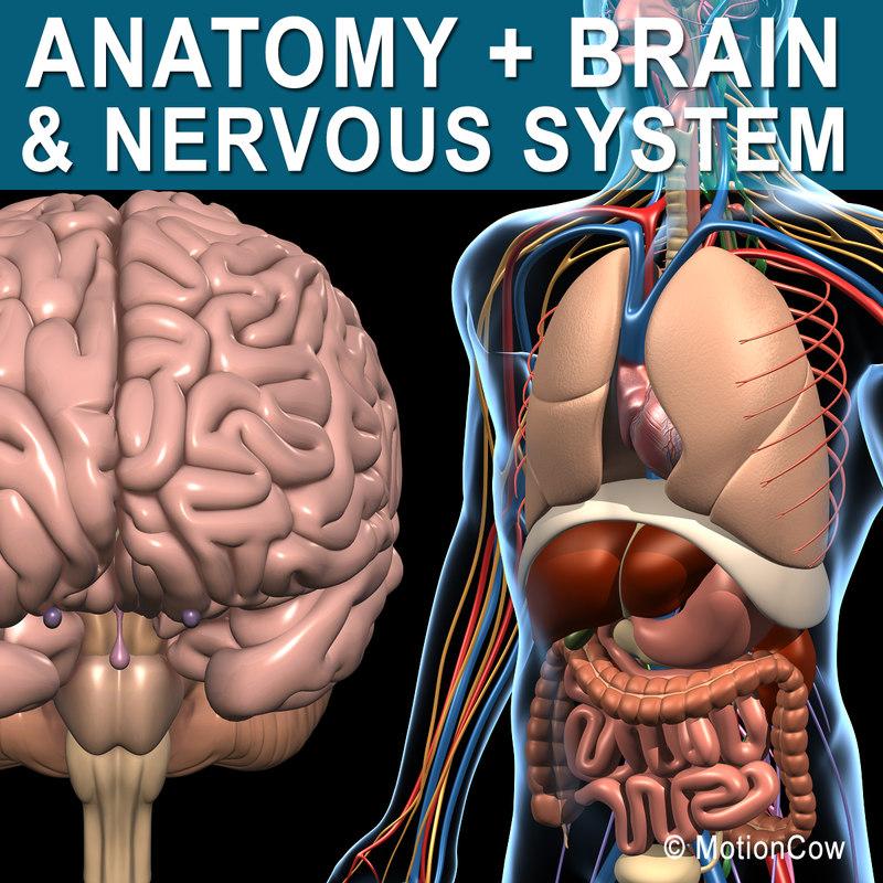 max human anatomy nervous brain