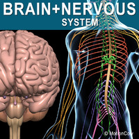 3d human nervous systems brain