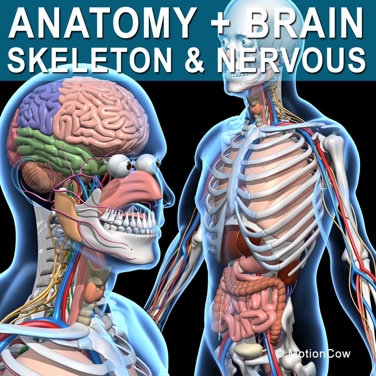 Human Skeleton Nerves | tenderness.co