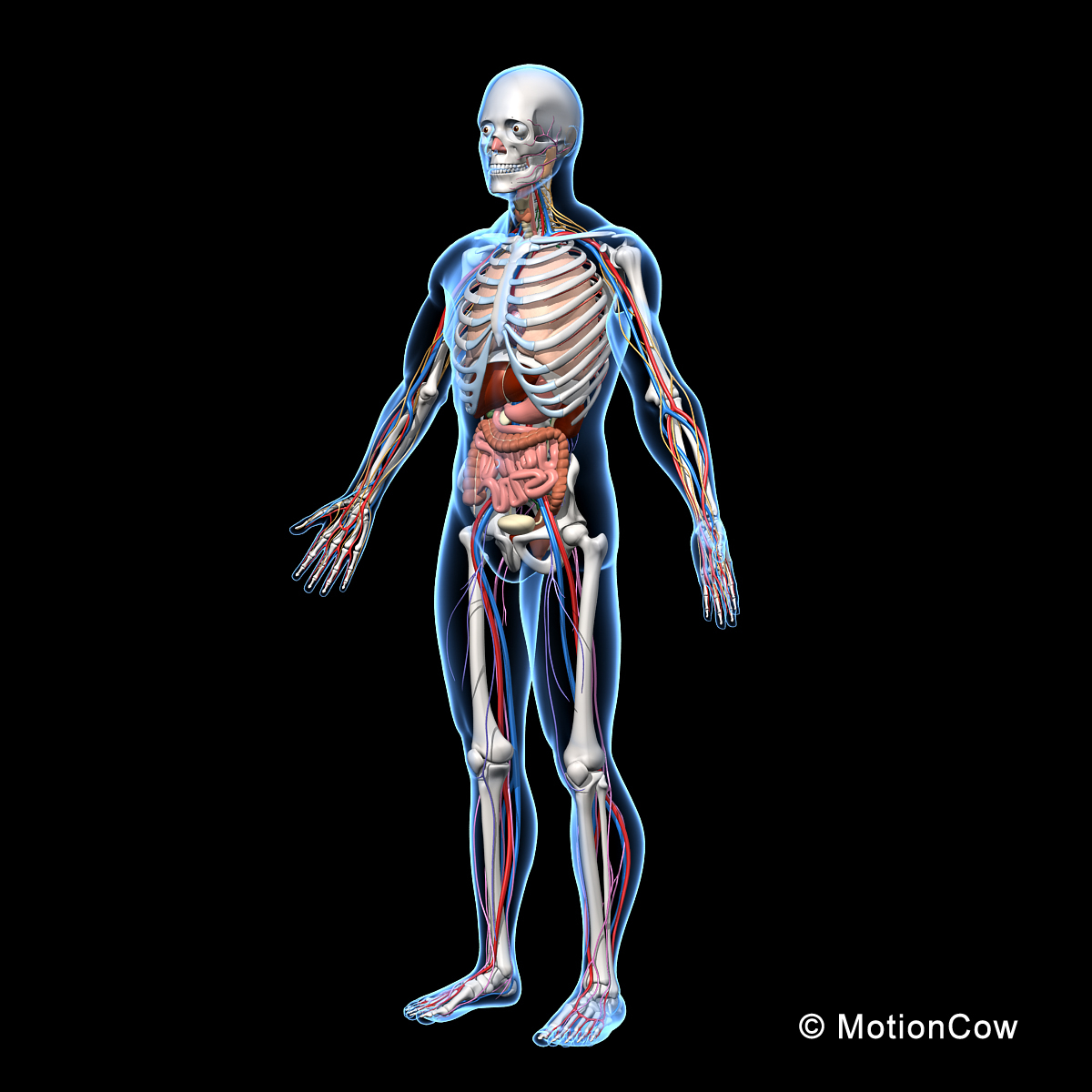3d model human anatomy nervous systems