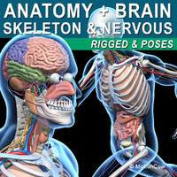 Skeleton, Anatomy & Nervous System  Rigged