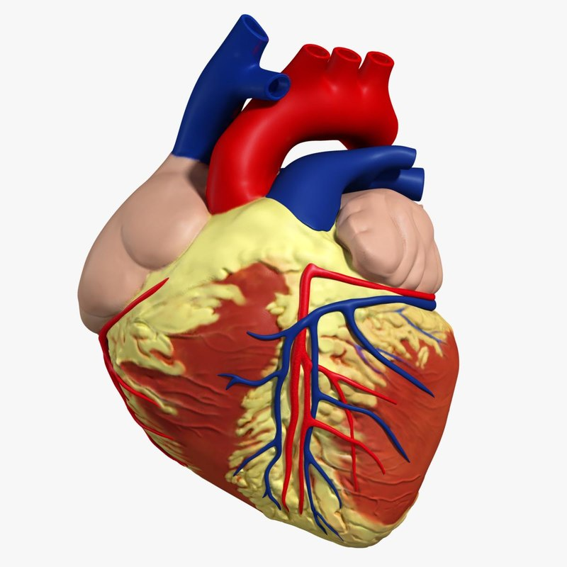 3d anatomy human heart
