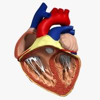 anatomy human heart 3d c4d