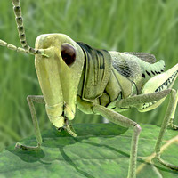 3d model of grass hopper