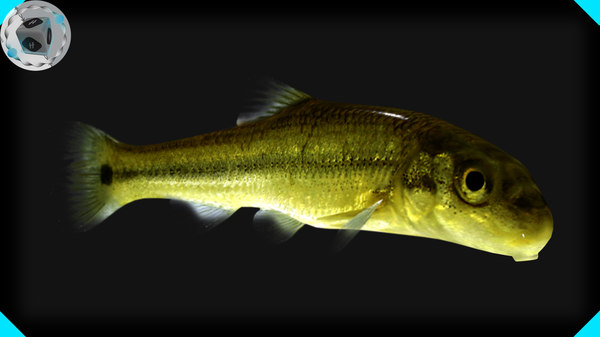 3d model sucker minnow