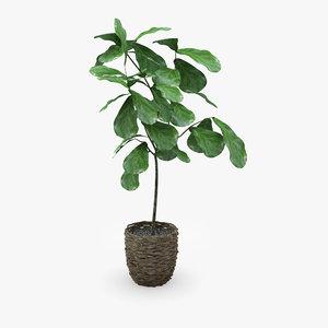 3d fiddle leaf fig ficus model