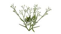 maya carrot grass
