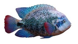 3d model cichlids fish