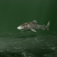 3d animation greenland shark