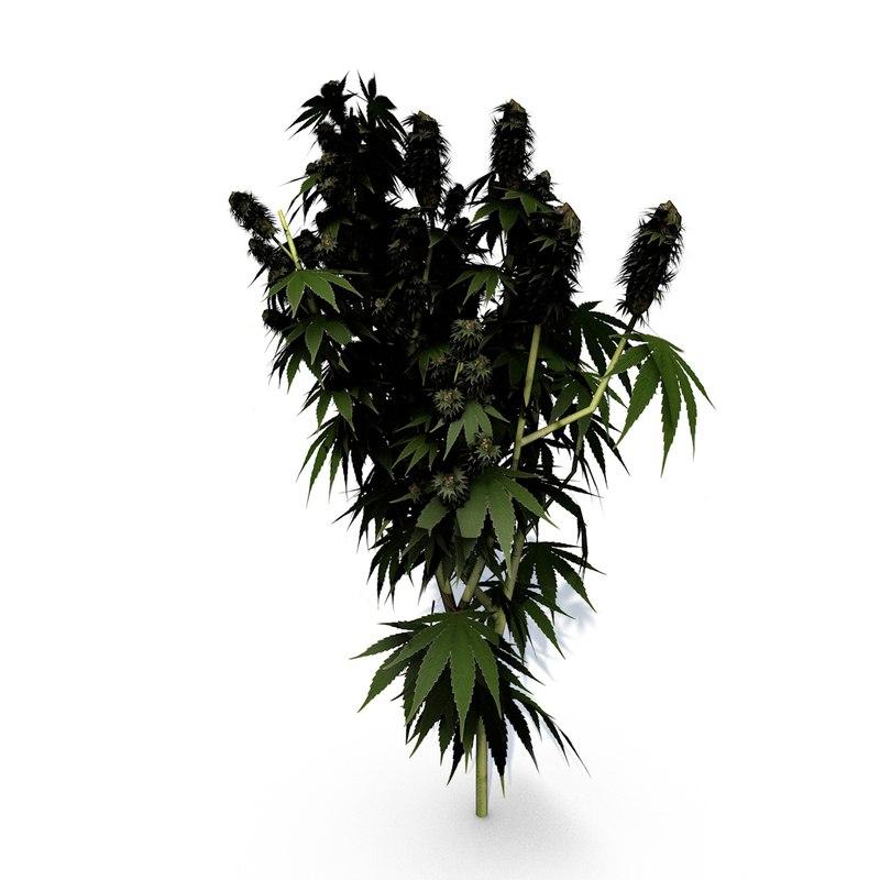 hemp plant c4d