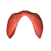 3d model diaphragm