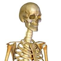 maya human skeleton