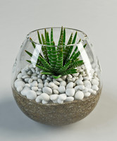 haworthia  fasciata cactus