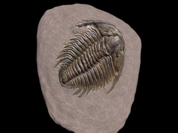 3d model fossil trilobite