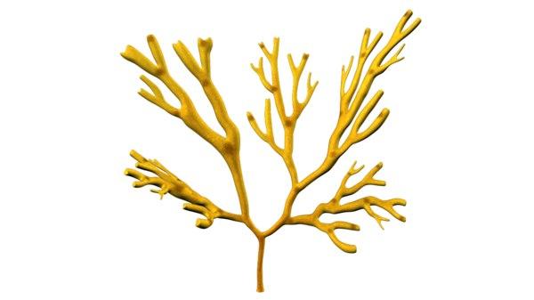 3d model dictyotales brown algae