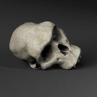 3d hominid primate skull