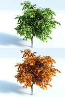 Vine Maple Tree Small x3 (Acer Circinatum)