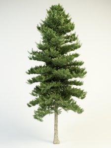 3d model white fir 16