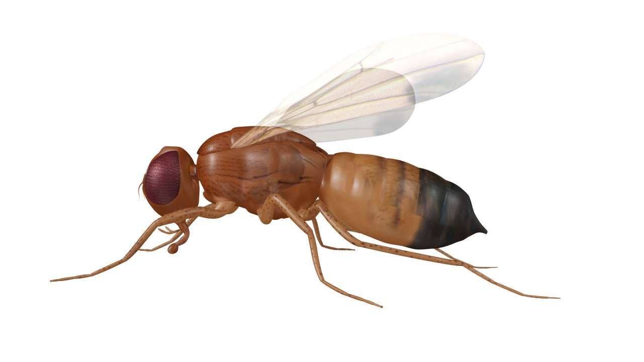 drosophila fly fruit obj