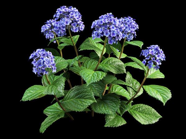 bush hortensia flowering 30 3d model