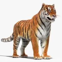 Tiger (Fur)