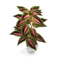 Coleus Flower